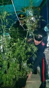 Le piante sequestrate dai Carabinieri di Locorotondo