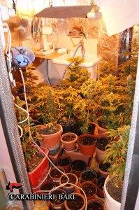 La coltivazione casalinga clandestina